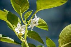 Flor da planta da pimenta de Bell Fotos de Stock Royalty Free