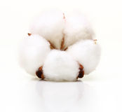 Flor da planta de algodão Foto de Stock Royalty Free