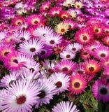 Flor da planta de gelo Imagem de Stock Royalty Free