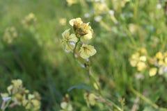 Flor da planta de Saag Fotos de Stock