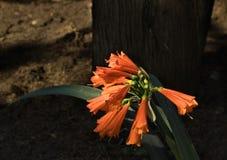Flor da planta do bomarea na cor coral fotos de stock royalty free