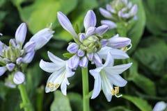 Flor da planta do hosta Imagem de Stock