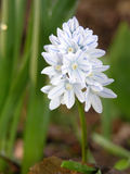 Flor da planta Puschkinia Foto de Stock Royalty Free
