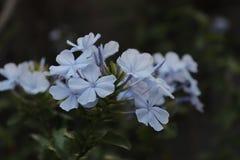 Flor da plumbagina Luz - azul grupo na flor no verão imagem de stock