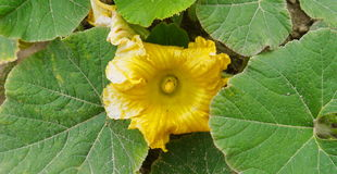 Flor da polpa Foto de Stock