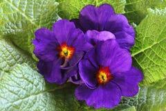 Flor da prímula Fotografia de Stock Royalty Free