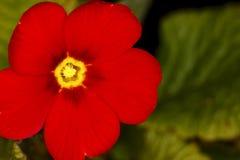 Flor da prímula Foto de Stock Royalty Free