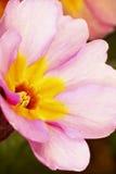 Flor da prímula Imagem de Stock