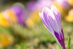 Flor da primavera - açafrão Fotografia de Stock