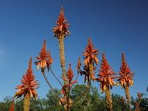 Flor da primavera em Califórnia em jardins botânicos de Taft, Ojai C Fotografia de Stock Royalty Free