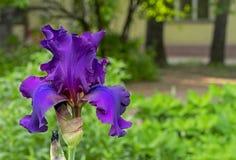 Flor da ?ris Íris violeta de florescência, planta constante do Iridaceae da família foto de stock