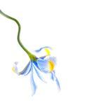 Flor da íris de Lila Fotografia de Stock Royalty Free