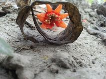 Flor da romã foto de stock