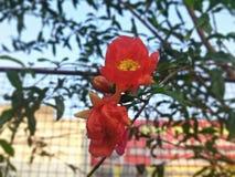 Flor da romã Imagem de Stock
