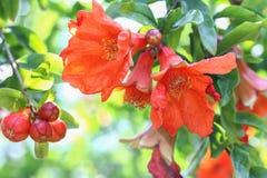 A flor da romã em meu jardim Foto de Stock Royalty Free