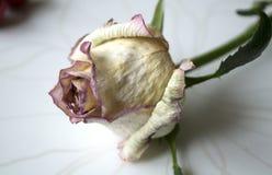 A flor da rosa é secada, murchado Rosas cor-de-rosa Flores Use materiais impressos, sinais, artigos, Web site, mapas, cartazes, c Imagens de Stock