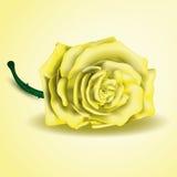 Flor da rosa do amarelo como perto acima Foto de Stock Royalty Free