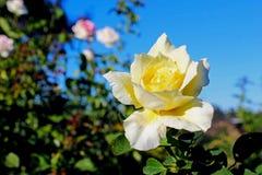Flor da rosa do amarelo em Inez Grant Parker Memorial Rose Garden Fotografia de Stock