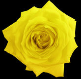 A flor da rosa do amarelo, enegrece o fundo isolado com trajeto de grampeamento closeup Imagens de Stock Royalty Free