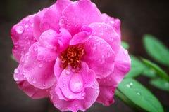 Flor da rosa do rosa com cânone 1100D Foto de Stock Royalty Free
