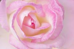 Flor da rosa do rosa com formulário do coração Foto de Stock