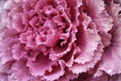 Flor da rosa do rosa com gotas do fim da água acima Fotos de Stock Royalty Free