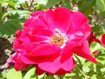 Flor da rosa do rosa no jardim Fotografia de Stock Royalty Free