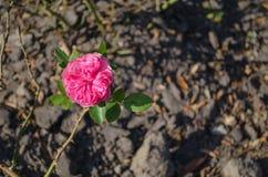 Flor da rosa do rosa que floresce no fundo à terra foto de stock
