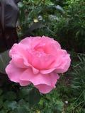 Flor da rosa do rosa!! Imagens de Stock