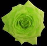 A flor da rosa do verde, enegrece o fundo isolado com trajeto de grampeamento closeup Imagem de Stock