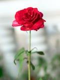Flor da rosa do vermelho única Imagem de Stock Royalty Free