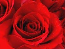 Flor da rosa do vermelho Imagens de Stock Royalty Free