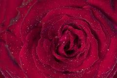 Flor da rosa do vermelho com formulário do coração Imagens de Stock