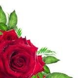 A flor da rosa do vermelho com verde sae no fundo branco Fotos de Stock Royalty Free