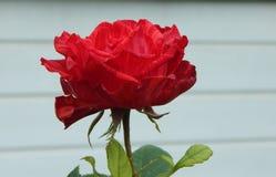 Flor da rosa do vermelho isolada sobre o branco Fotografia de Stock Royalty Free