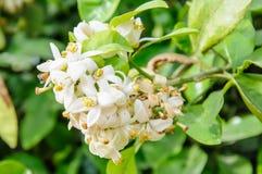 Flor da árvore alaranjada Fotografia de Stock Royalty Free