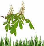 Flor da árvore de castanha Fotos de Stock Royalty Free