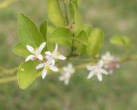 Flor da ?rvore de lim?o fotografia de stock royalty free