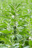 Flor da semente do sésamo Imagens de Stock