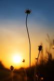 Flor da silhueta no nascer do sol Imagem de Stock Royalty Free