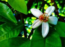 Flor da toranja Imagem de Stock