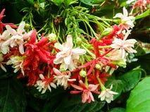 Flor da trepadeira de Rangoon fotografia de stock royalty free