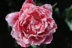 Flor da tulipa Imagens de Stock