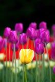 Flor da tulipa amarela Fotografia de Stock