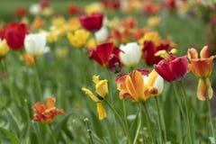 Flor da tulipa em jardins do sherwood de baltimore fotos de stock royalty free