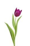 Flor da tulipa em uma haste com folhas imagem de stock