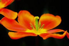 Flor da tulipa na flor completa Imagem de Stock Royalty Free
