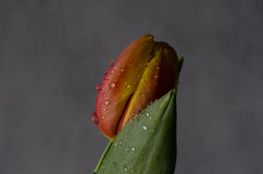 Flor da tulipa nas gotas de água e na folha verde Fotos de Stock Royalty Free