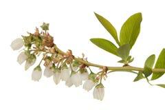 Flor da uva-do-monte Fotos de Stock Royalty Free