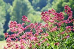 Flor da valeriana vermelha, Centranthus Ruber fotos de stock